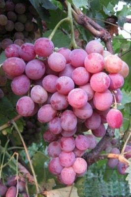 Виноград Фламинго