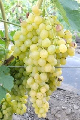 Виноград Киш-Миш Белое Пламя