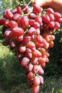 Виноград Кинг-Руби