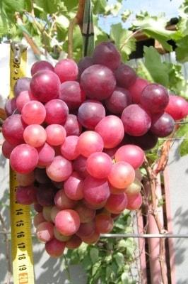 Виноград Импульс