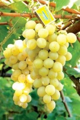 Виноград Италия