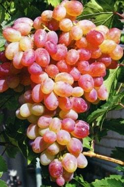 Виноград Фантазия