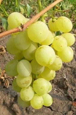 Виноград Сашенька