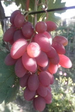 Виноград Юбилей Херсонского дачника