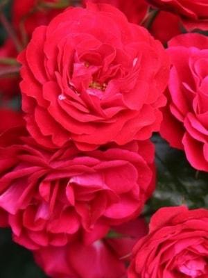 роза европеана фото и описание