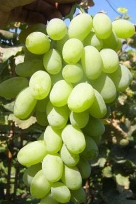 Виноград Венечный