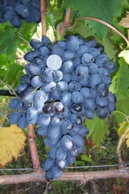 Виноград Осенний Королевский