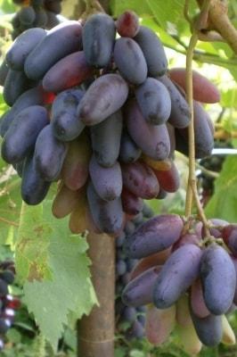 Виноград Черный палец