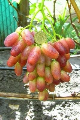 Виноград Магистр