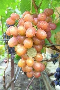 Виноград Хамалеон