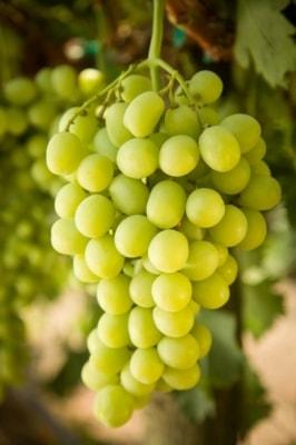 Виноград Принцесса