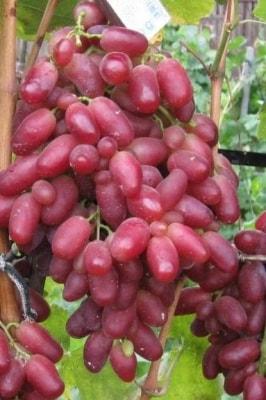 Виноград Кандагар