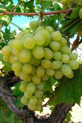 Виноград Иринка