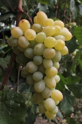 Виноград PZ-SP-8-6