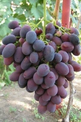 Виноград Калиста