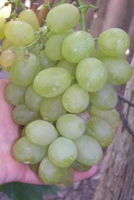 Виноград Пересвет