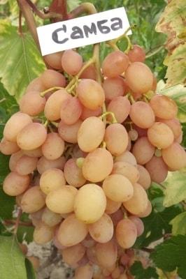 Виноград Самба