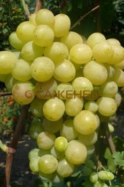 Виноград Кураж