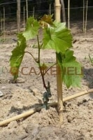 Посадка винограда весной