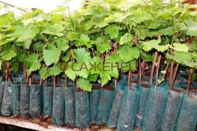 Вегетирующие саженцы винограда