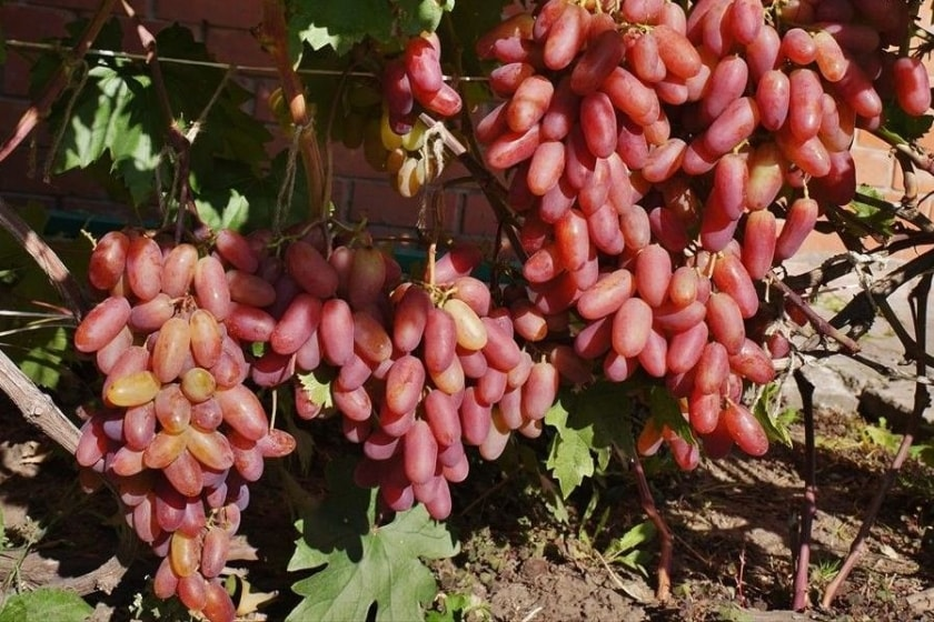 Виноград Преображение на шпалере