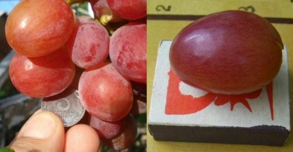 Ягода винограда Анюта