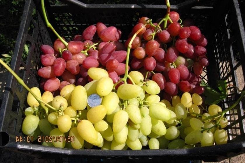 Виноград Ландыш готов к реализации