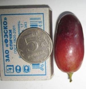 Ягода винограда Виктор