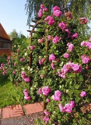 Роза Лагуна на арке