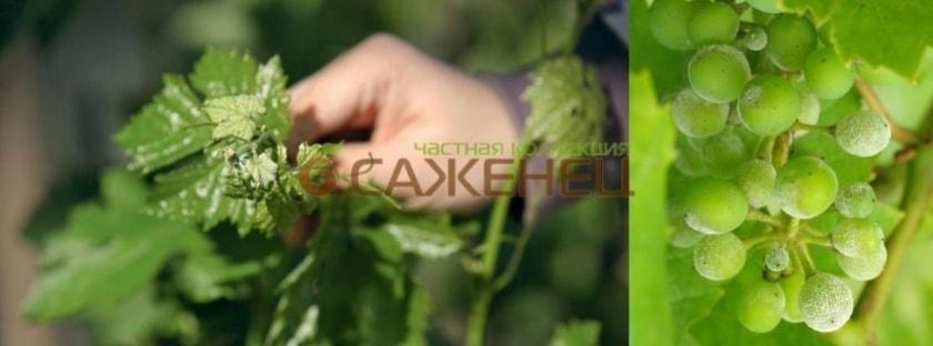 Оидиум винограда