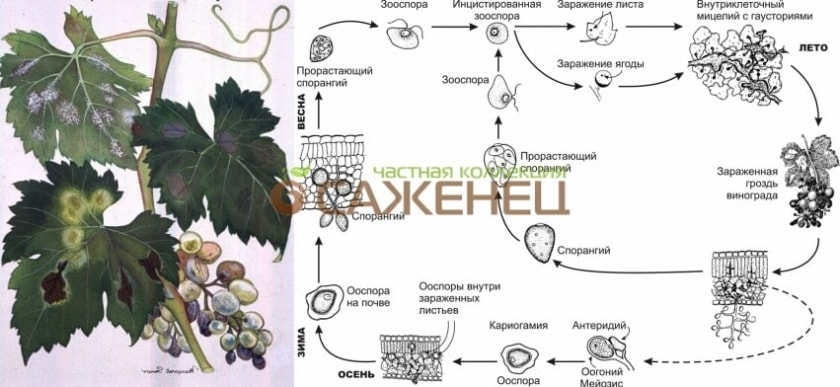 Схема милдью винограда