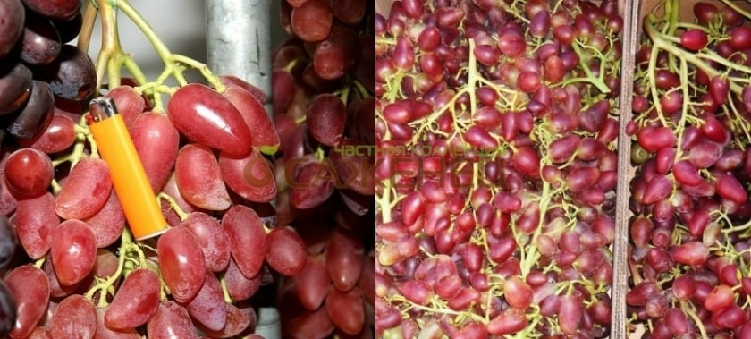 Урожай Дубовского розового