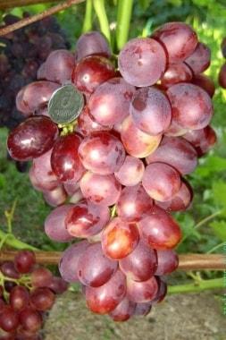 Виноград Лелик
