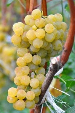 Виноград Цитронный Магарач