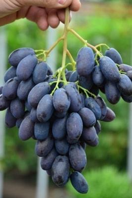 Виноград Каталония
