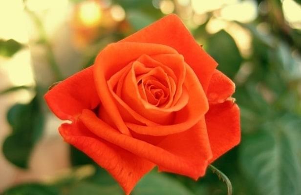 Ярки окрас розы Луи де Фюнес