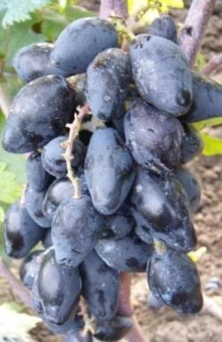 Виноград Ромбик