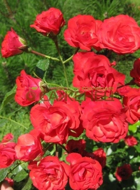 Саженцы почвопокровных роз  купить ковровые розы в