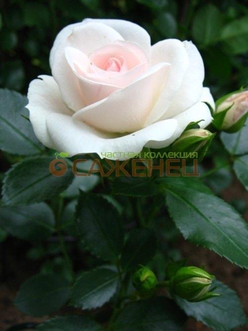 Почвопокровные розы  Купить почвопокровные розы  по