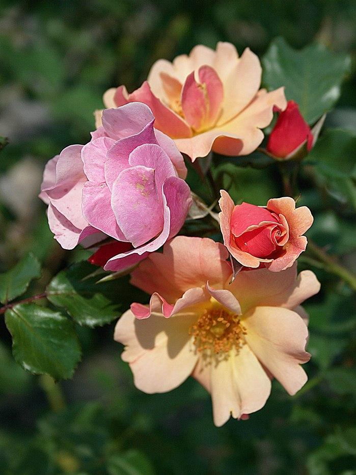 Почвопокровные розы  Купить почвопокровные розы в Украине