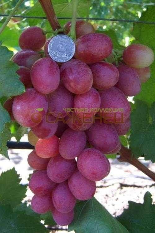 фото виноград анюта