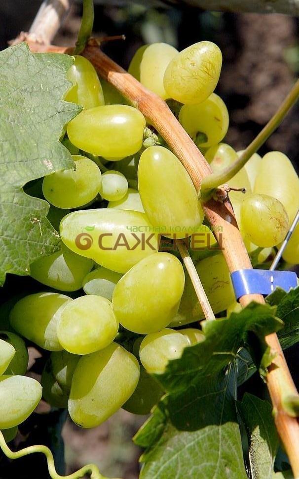 Описание винограда подарок запорожью 681