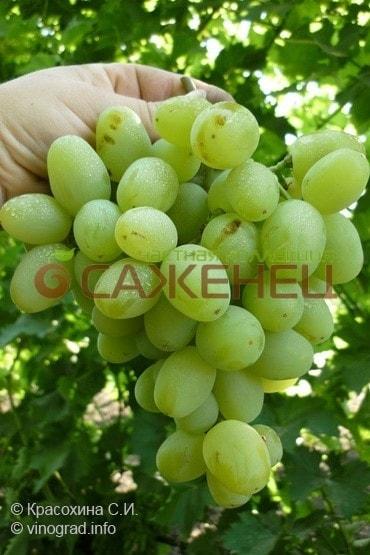 Виноград Белое Чудо Описание Сорта