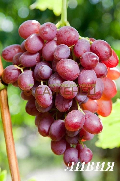 Виноград Первозванный Описание Сорта