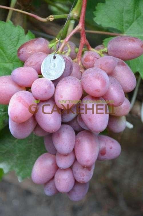 вера виноград фото