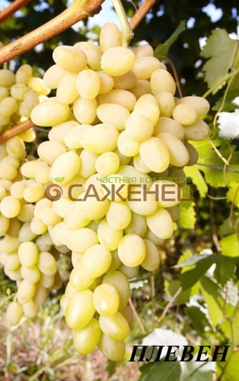 виноград фуджиминори описание сорта фото