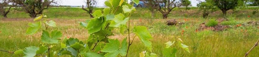 Работы по уходу за виноградом в июне: зеленые операции, полив, подкормка и обработка от болезней