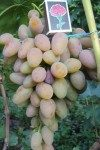 Розовый Тимур