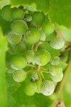 Оидиум винограда – меры войны с «бичом виноградников»