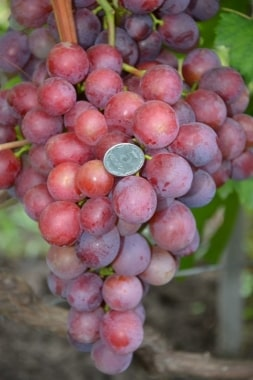Виноград Армани